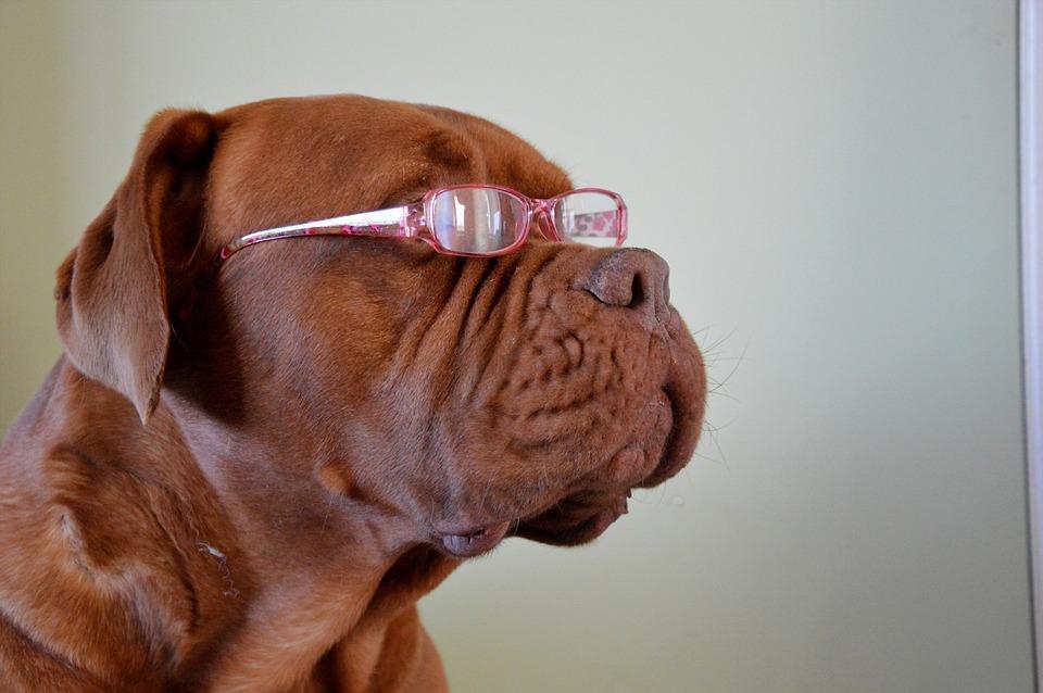 Dog, Portrait, Pet, Fashion, Glasses, Cute, Canine