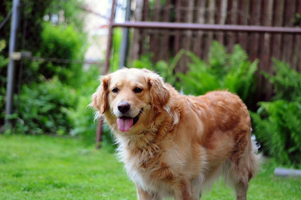 Golden Retriever, Dog, Happy, Pet, Animal, Canine, Cute