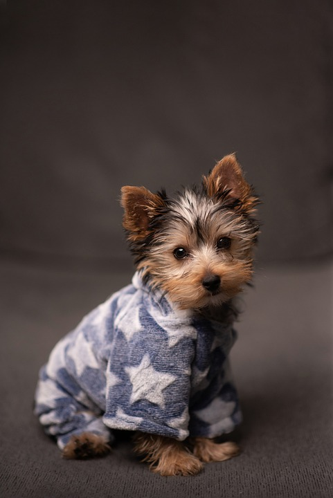 Yorkshire Terrier, Puppy, Dog, Yorkie, Pup, Pet, Cute