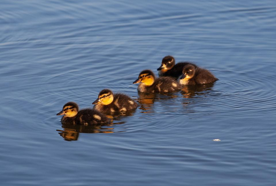 Ducklings, Baby Ducks, Duckling, Duck, Baby, Bird, Cute