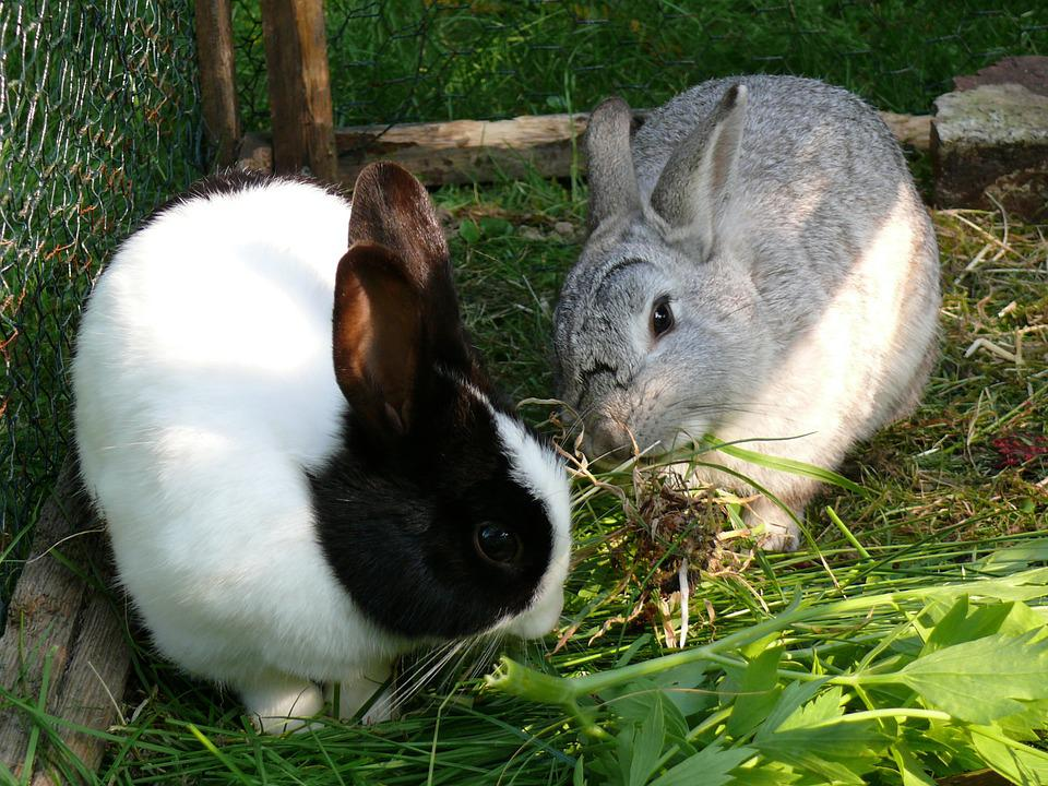 Rabbit, Dwarf Rabbit, Pet, Animal, Cute, Ear