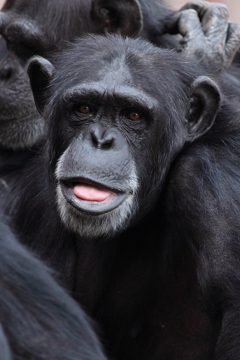 Animal, Ape, Chimp, Chimpanzee, Cute, Eye, Eyes, Face