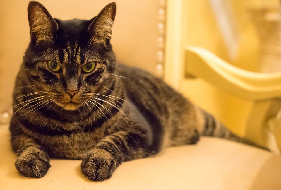 Cat, Feline, Gray, Stripes, Cute, Domestic, Fur, Animal