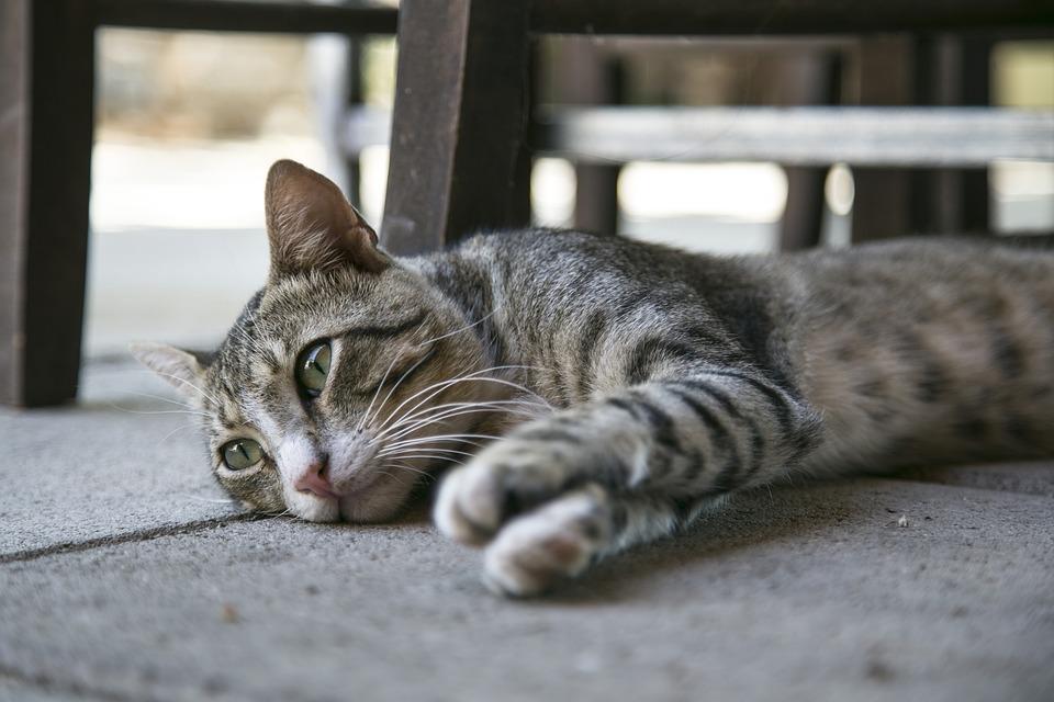 Cat, Kitten, Kitty, Feline, Domestic, Home, Pet, Cute