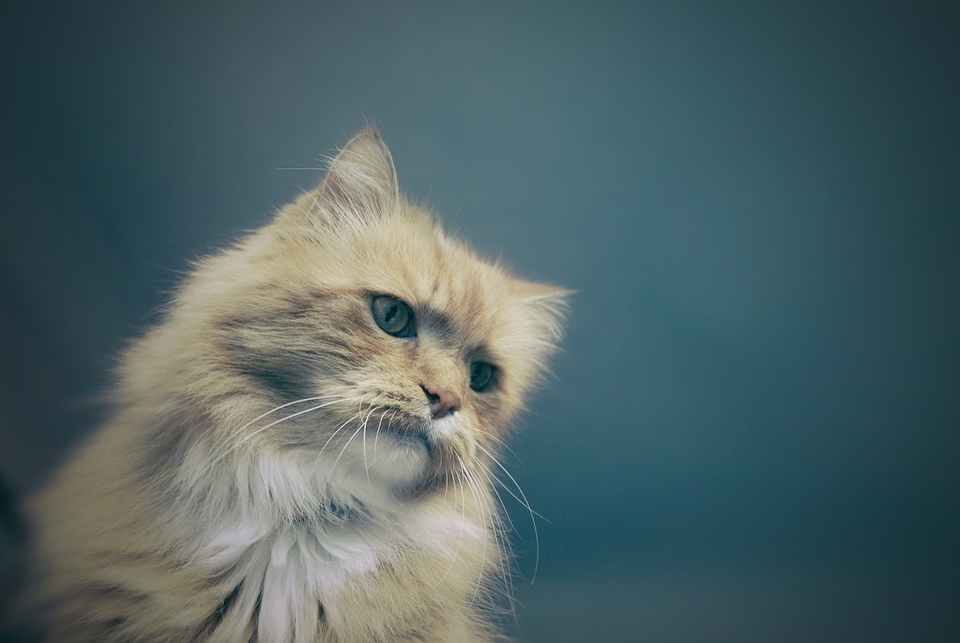 Cat, Feline, Animal, Cute, Pet, Domestic, Fluffy, Fur