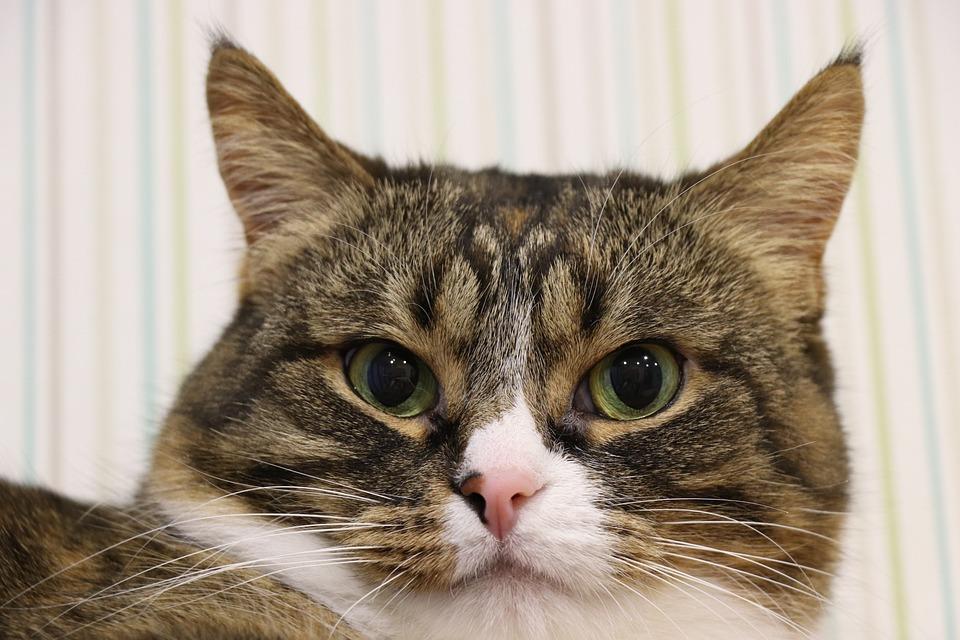 Cat, Fur, Portrait, Eyes, Home, Furry, Head, Cute