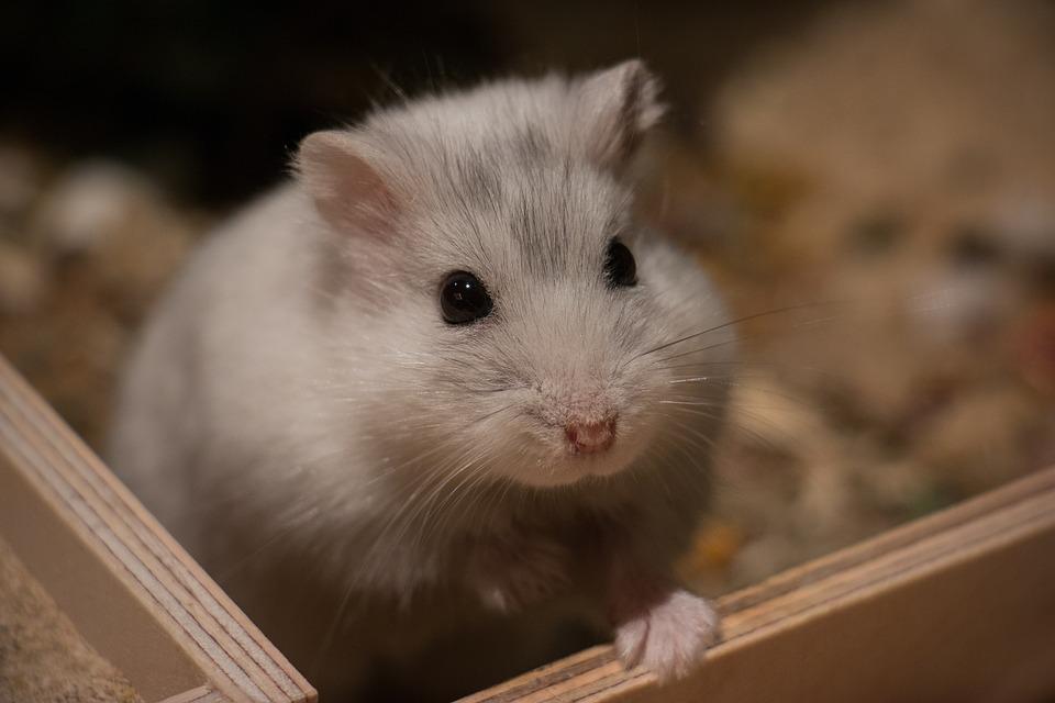 Free Photo Cute Hamster Mammal Dwarf Hamster Small Animal