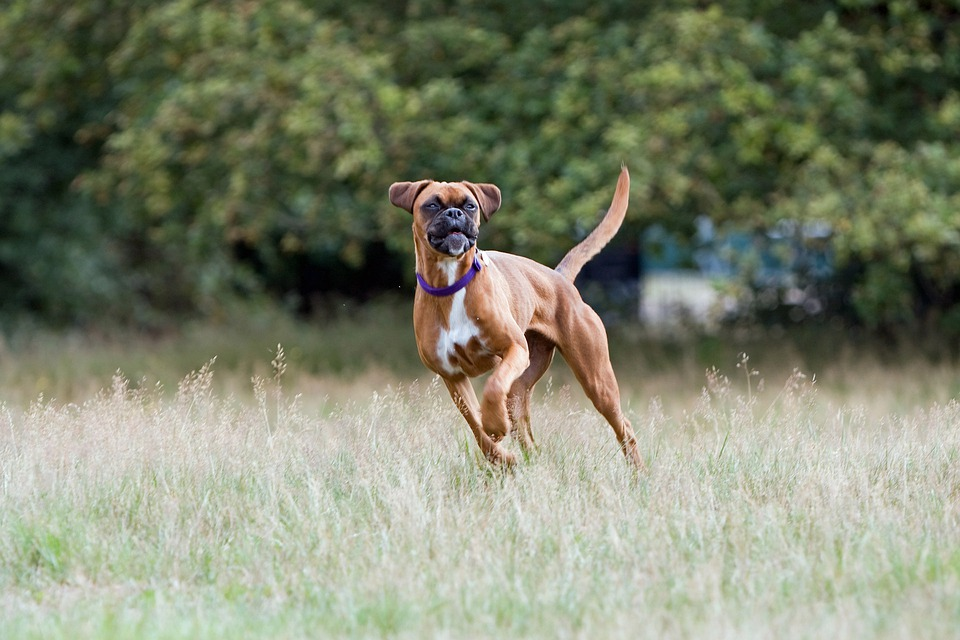 Image result for boxer dog
