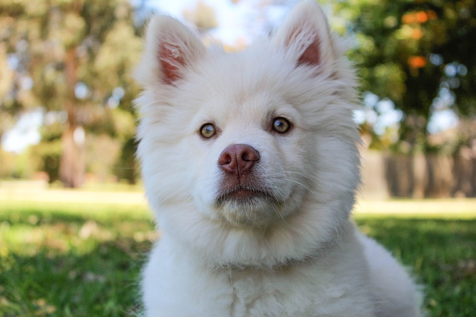 Dogs, Sun, Summer, Cute, Puppy, Finnishlapphund, Happy