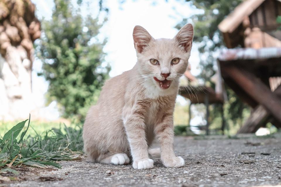 Cat, Cute, Kitte, Kitten, Pet, Animal, Adorable