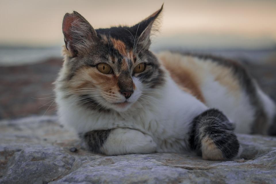 Cat, Furry, Kitten, Pet, Animal, Cute, Portrait
