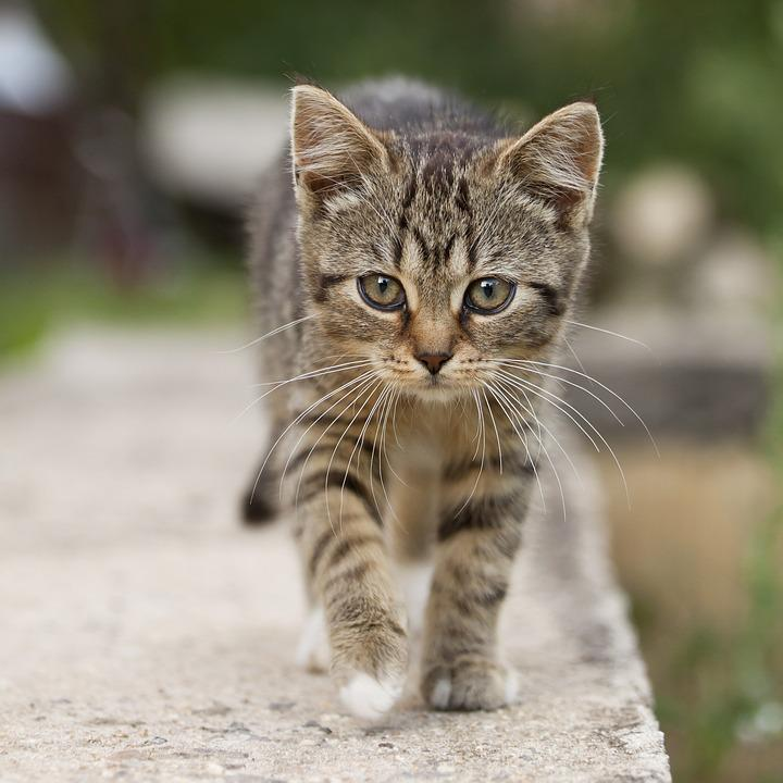 Cat, Tabby, Outdoors, Animals, Cute, Kitten, Pets