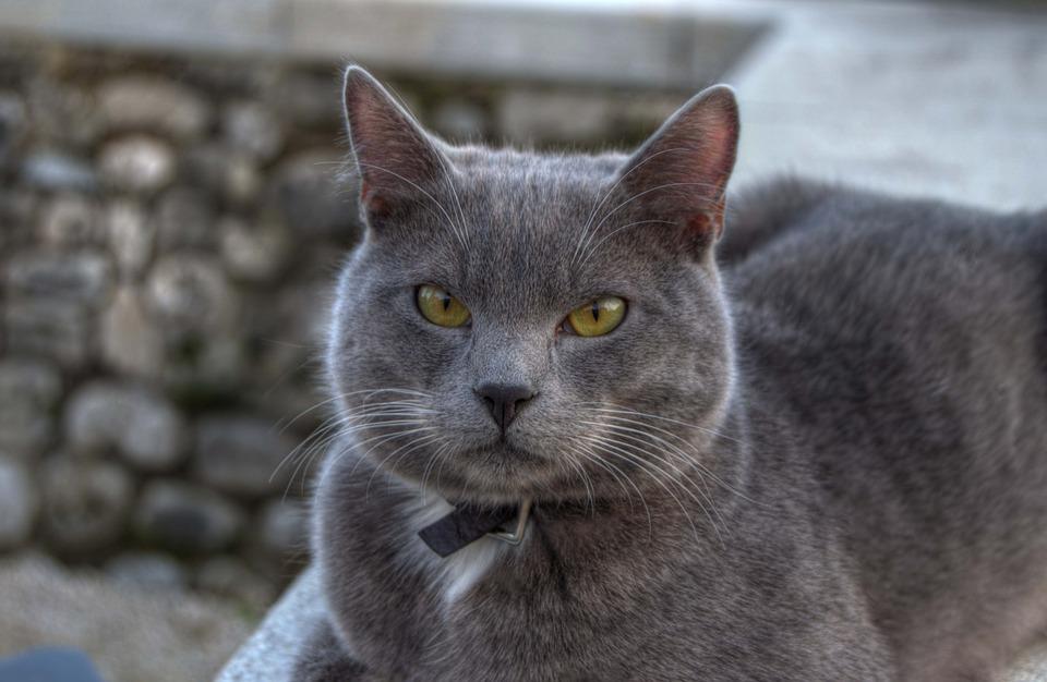 Cat, Gray, Animal, Cats, Kitten, Cute, Feline, Fur