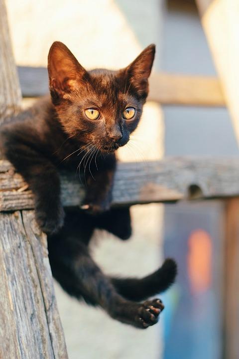 Cat, Kitten, Pet, Cute, Animal, Eyes, Kitty, Black