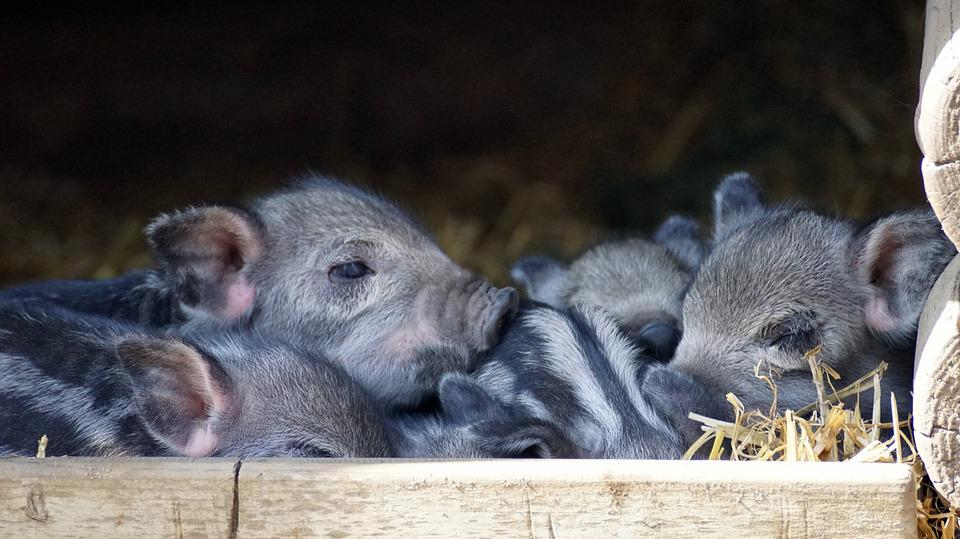 Piglet, Baby, Launchy, Pig, Cute, Small, Young, Family