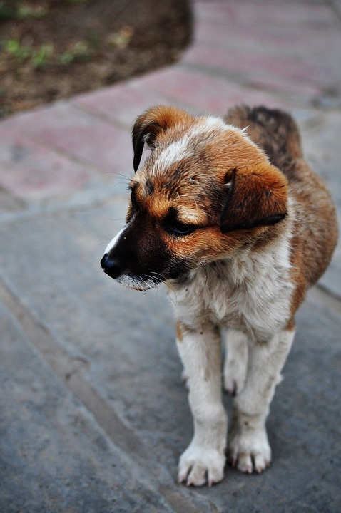 Puppy, Lost, Cute, Dog, Canine, Doggy, Orphan, Lonely