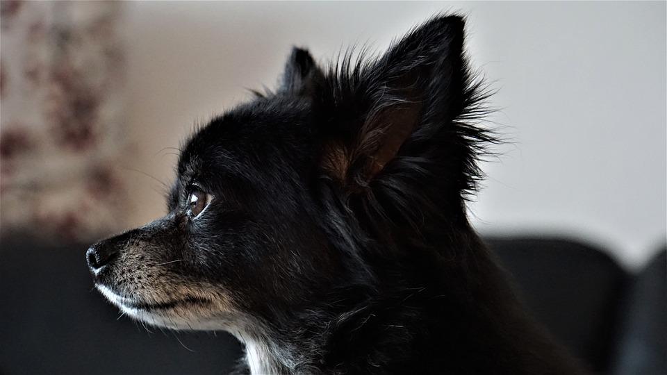 Long Hair Chihuahua, Dog, Small, Sweet, Cute, Animal