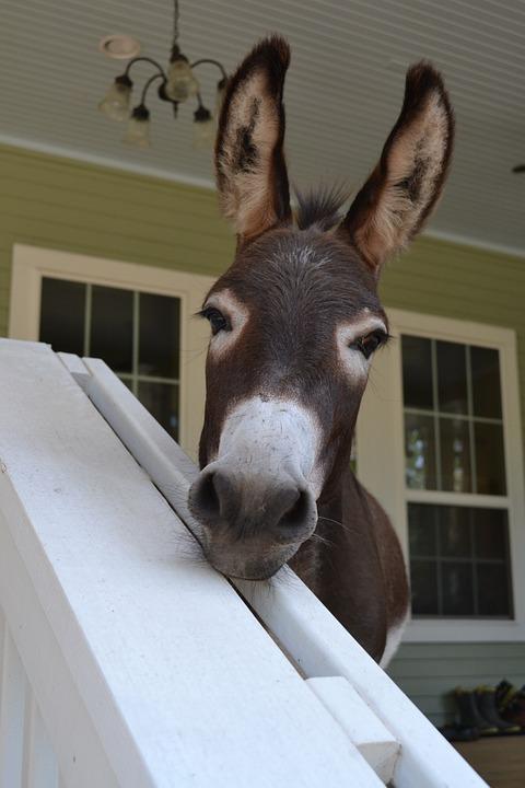 Curiosity, Porch Pet, Farm Animal, Cute, Looking