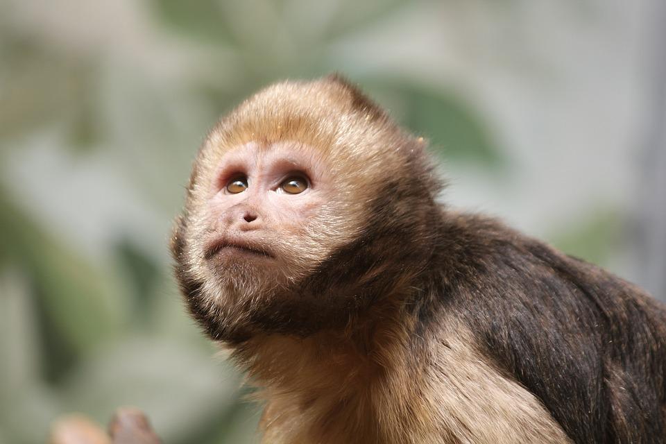 Monkey, Fauna, Primate, Mammal, Cute