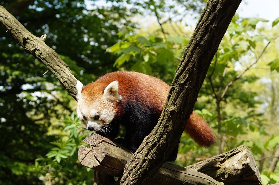 Panda, Nature, Mammal, Red Panda, Zoo, Cute