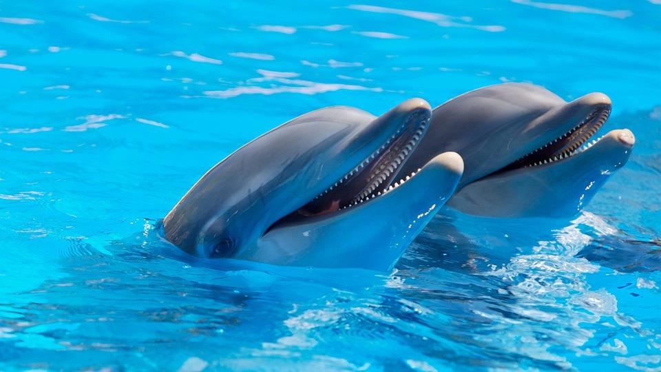 Animal, Cute, Dolphins, Fish, Mammals, Marine Life
