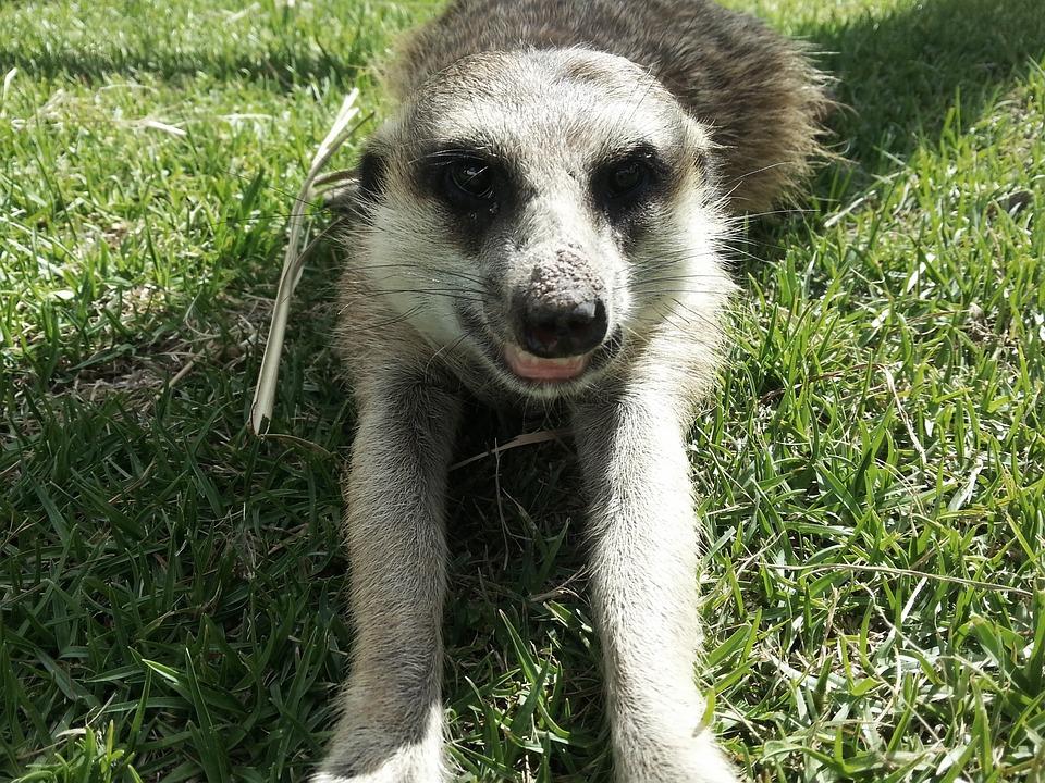 Meerkat, Nature, Wildlife, Mammal, Africa, Cute