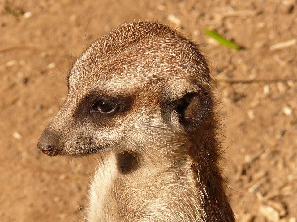 Meerkat, Animal, Nature, Watch, Guard, Cute, Mammal