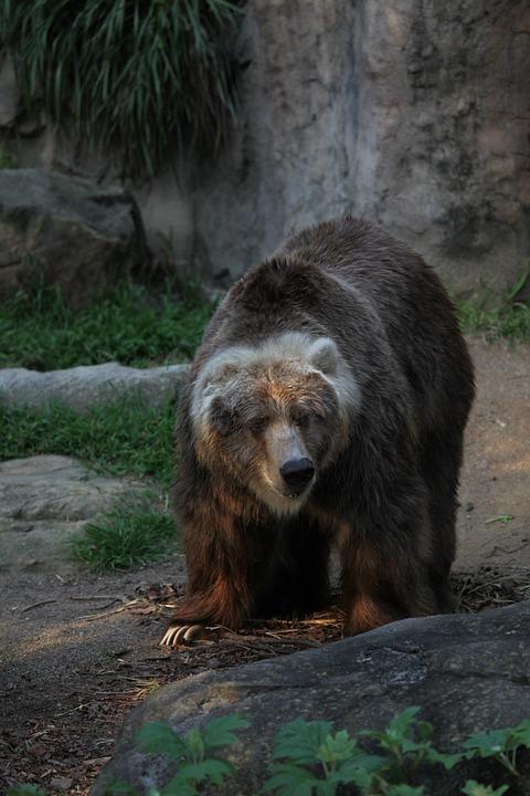 Bear, Big, Wildlife, Animal, Brown, Cute, Nature, Wild