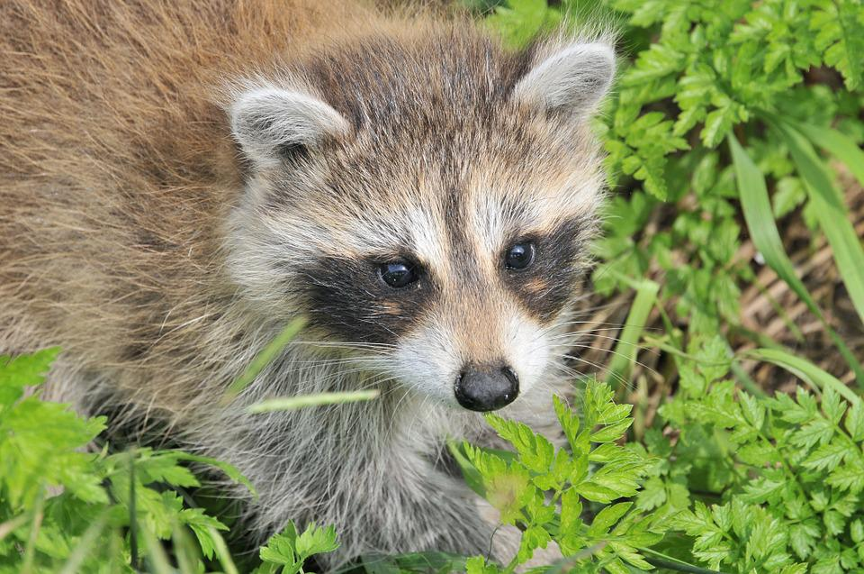 Raccoon, Baby Raccoon, Animal, Baby, Nature, Cute