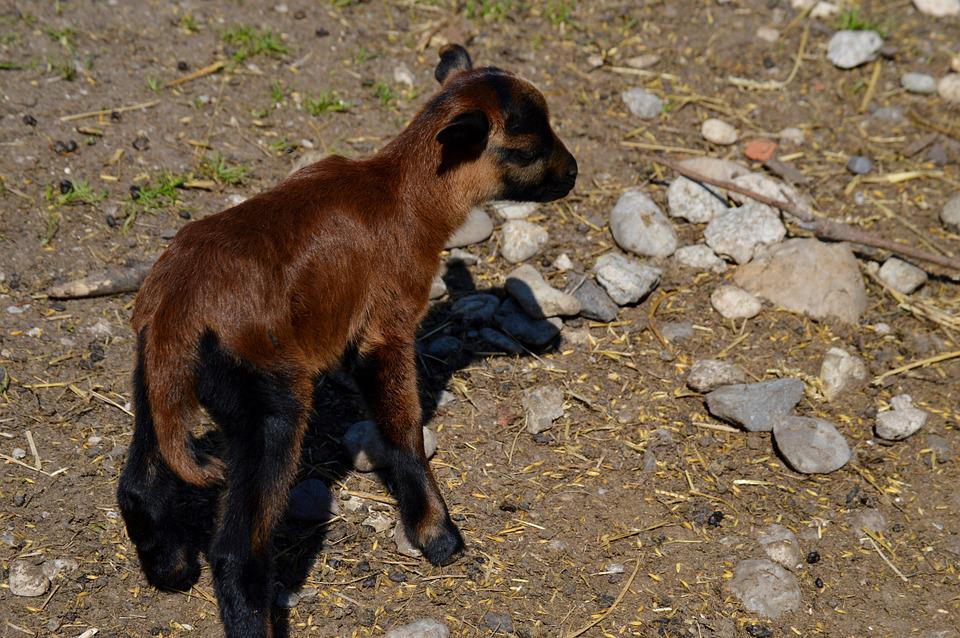Goat, Animal, Animal World, Nature, Cute
