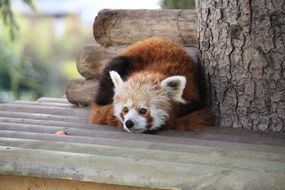 Panda, Park, Zoo, Cute
