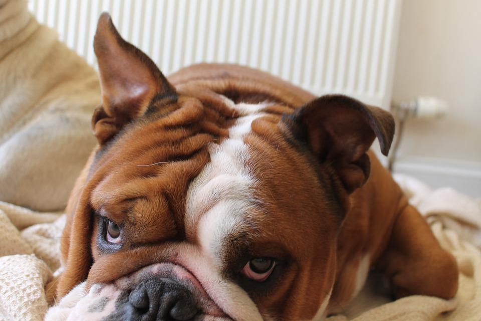 Dog, Bulldog, British, Cute, Purebred, Breed, Pedigree