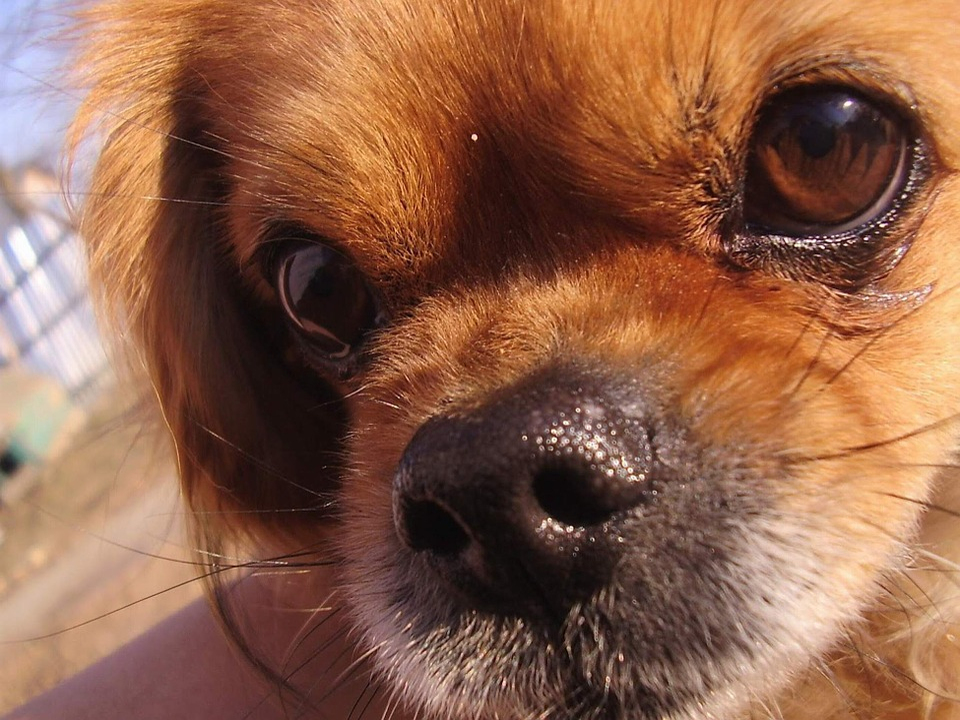 Pekingese, Pets, Dog, Animal, Cute