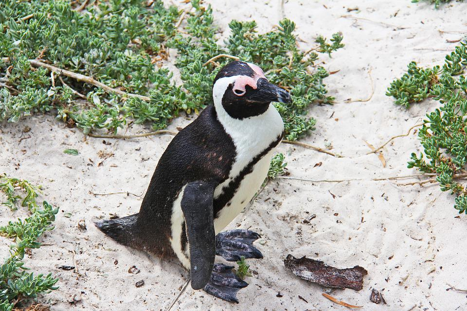 Penguin, Cute, Cuddly, Beautiful, Beach, Boulders Beach