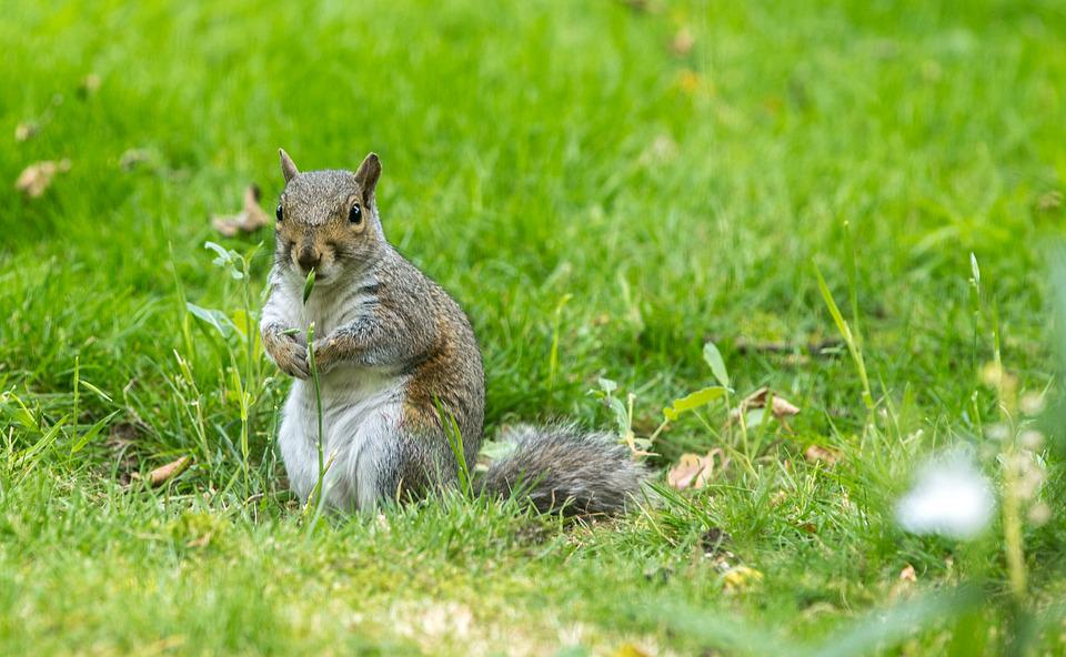 Squirrel, Pest, Rodent, Mammal, Wildlife, Cute, Nature