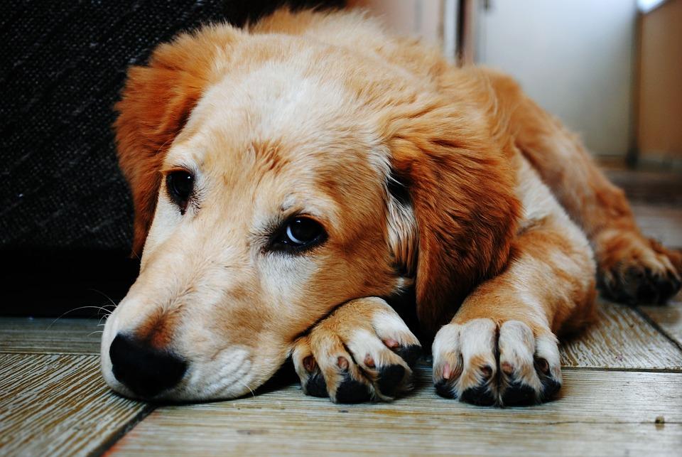 Adorable, Animal, Canine, Cute, Dog, Furry, Pet