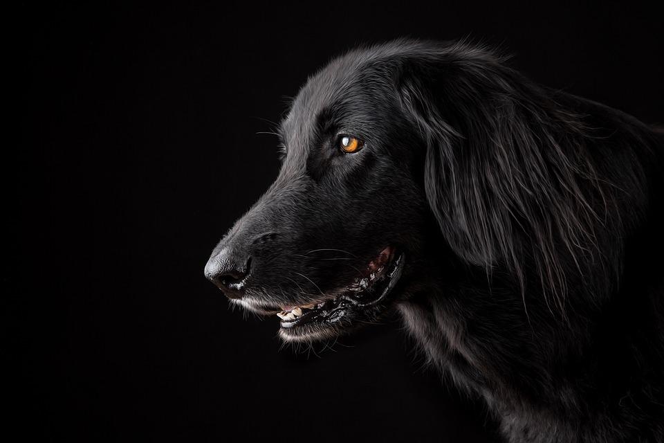 Animal, Dog, Pet, Portrait, Cute, Purebred Dog, Sad