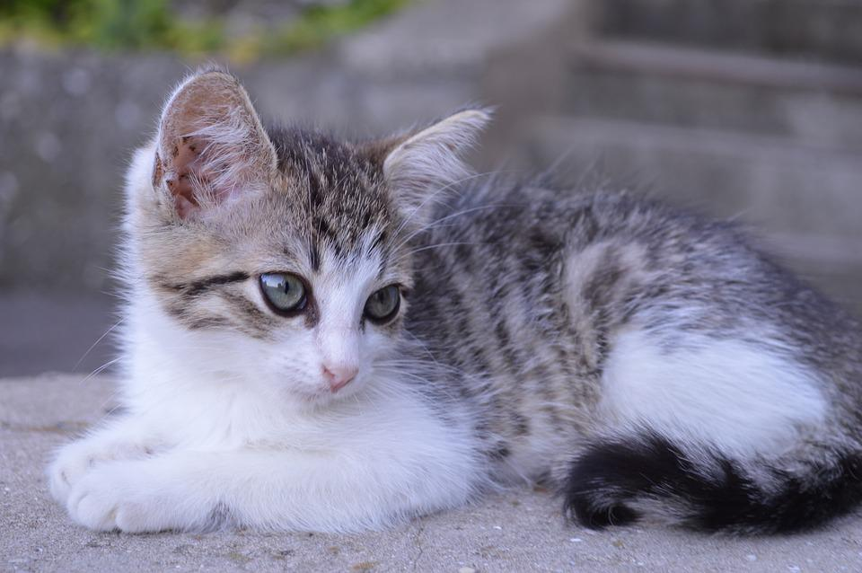 Cat, Kitten, Pet, Cute, Cats, Young Cat, Pets, Grey