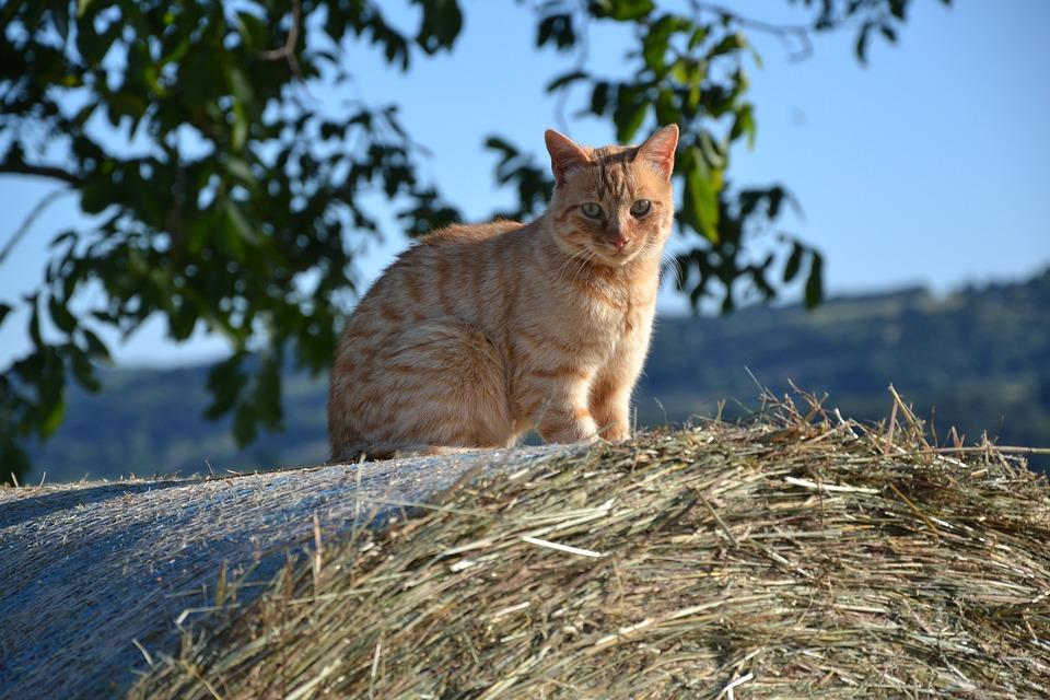 Cat, Hay, Cute, Re Fur, Outdoor, Pet