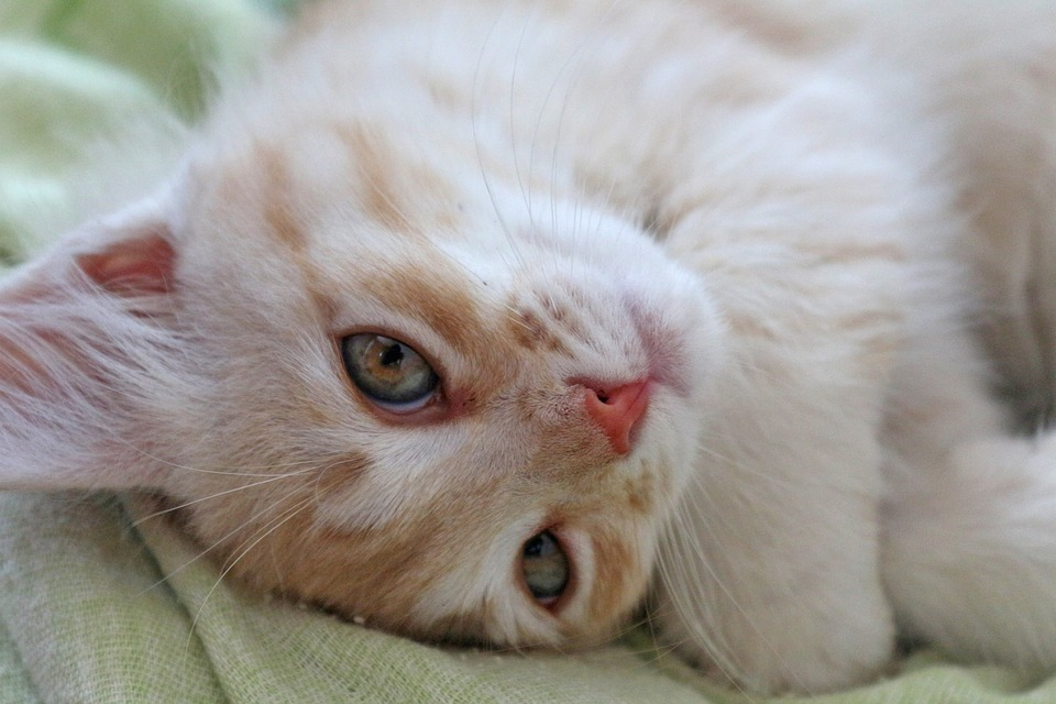 Kitten, Housecat, Cat, Pet, Animals, Cute, Pets, Animal