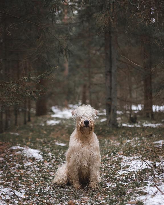 Dog, Terrier, Animal, Cute, Pet, Mammal, Portrait