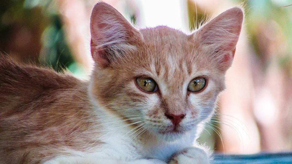 Cat, Stray, Face, Portrait, Animal, Cute, Kitten, Red