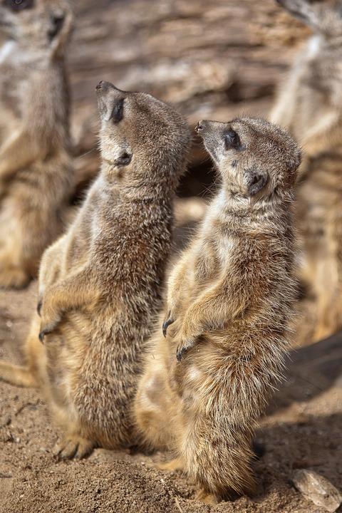 Meerkat, Predator, Cute, Nature, Mammal, Curious