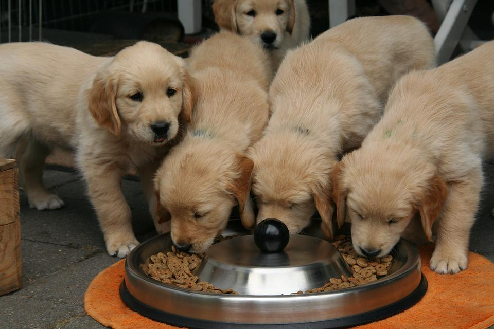 Golden Retriever Puppy, Dog Puppy, Cute Puppies Eating