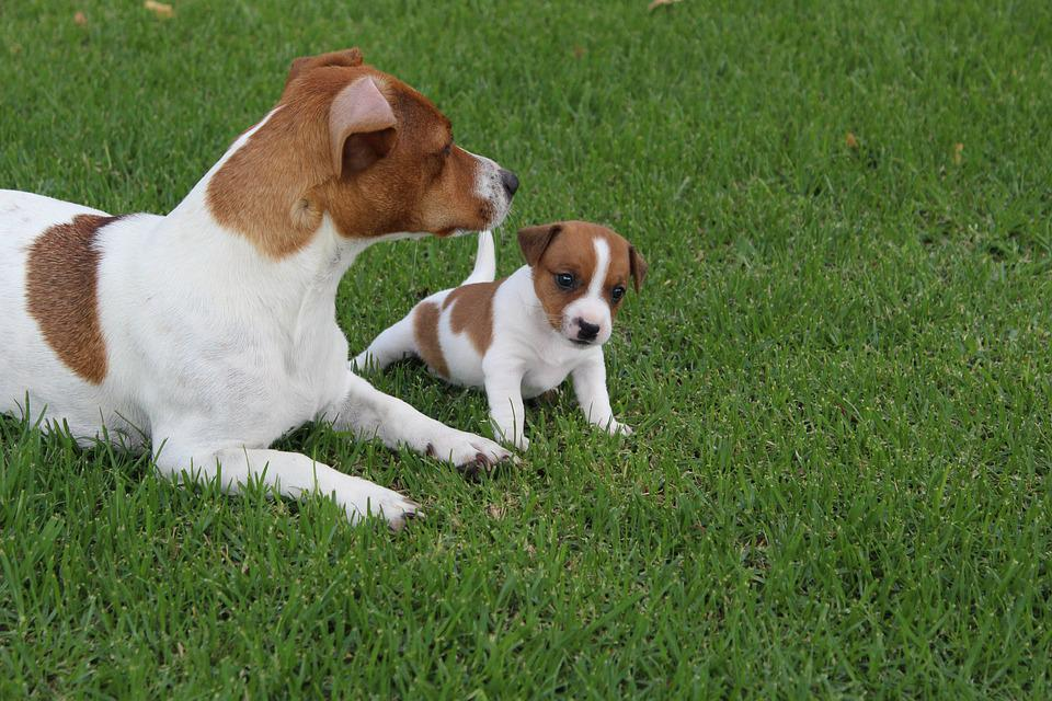 Pets, Dogs, Jack Russel, Puppy, Animal, Cute, Domestic
