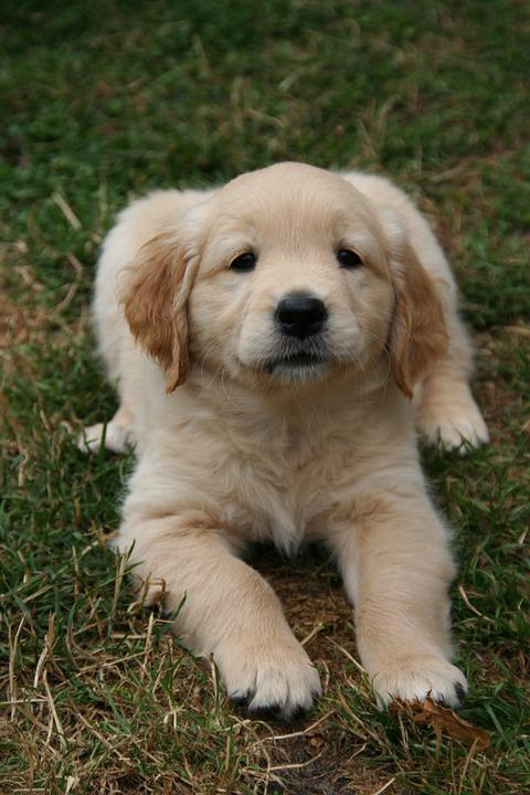 free photo cute puppy golden retriever puppy dog puppy max pixel