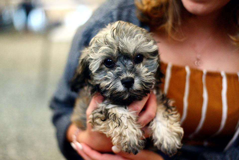 Dog, Puppy, Shih Poo, Young Animal, Cute
