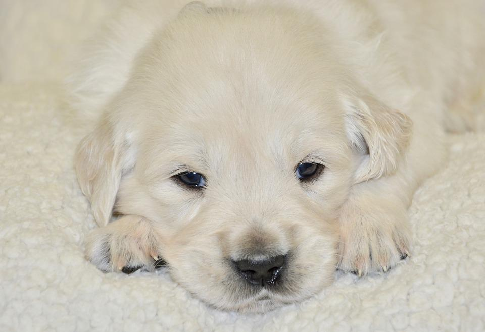 Free Photo Cute Puppy Young Dog Dog Golden Retriever Dog Baby Max Pixel
