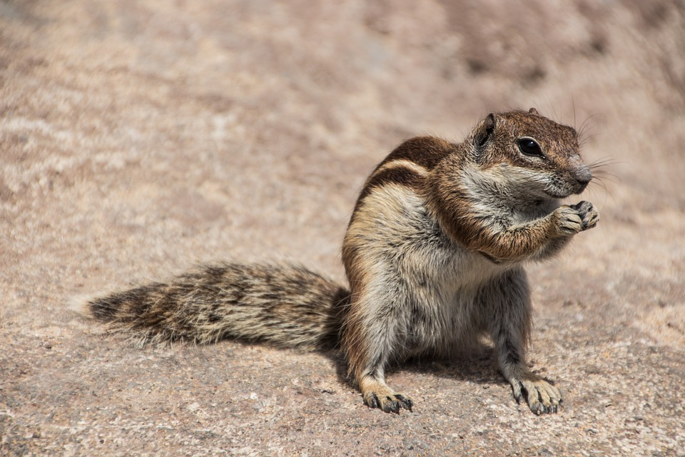 Chipmunk, Nager, Squirrel, Rodent, Canary Islands, Cute