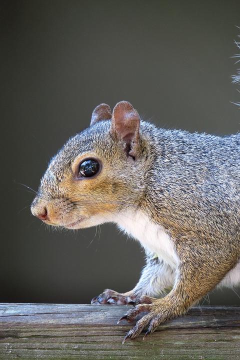 Squirrel, Head, Rodent, Cute, Mammal, Face
